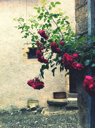 Raindrops of roses The Street Photographer - 2016 EyeEm Awards Frame It! S Qi Novice Photography Old World Travel France Les Pyrenees Cordes-sûr-Ciel Village Roses Wall Flower