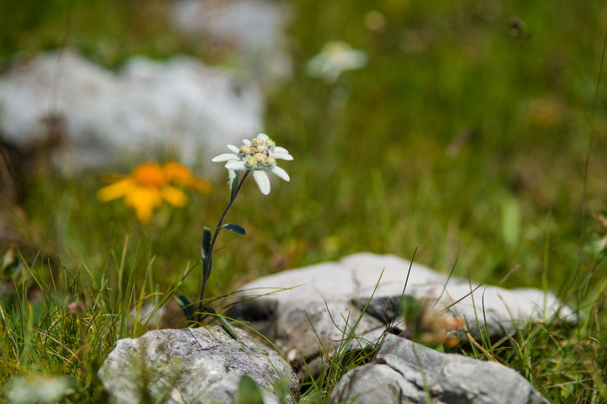Alpine Stars Beauty In Nature Blooming Close-up Day Flower Flower Head Fragility Freshness Grass Growth Nature No People Outdoors Plant