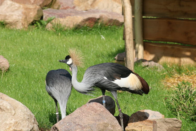 Grey crowned crane Animal Themes Animal Wildlife Balearica Regulorum Bird Bird Photography Close-up Crane - Bird Day Exotic Bird Grass Grey Crowned Crane Gruidae Gruiformes Kronenkranich Kronenreiher Long-legged Bird Long-necked Bird Nature No People Outdoors Perching Two Animals Zoo Animals