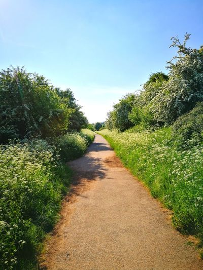 Cow Parsley Hawthorn Blossom May Flowers Old Railway Blue Sky Summer Sunshine vanishing point Pathway Walkway Narrow Countryside Treelined Blooming