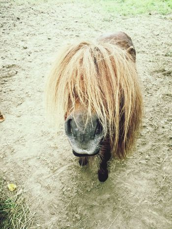 You looking at me One Animal Animal Hair Outdoors Animal Themes Day Shetland Pony Mini Horse Hairinmyface Brown Beige Grass Nose Nostril