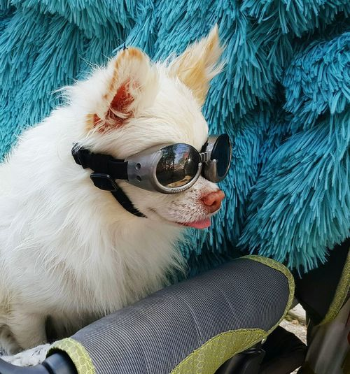 Close-up of dog on sunglasses