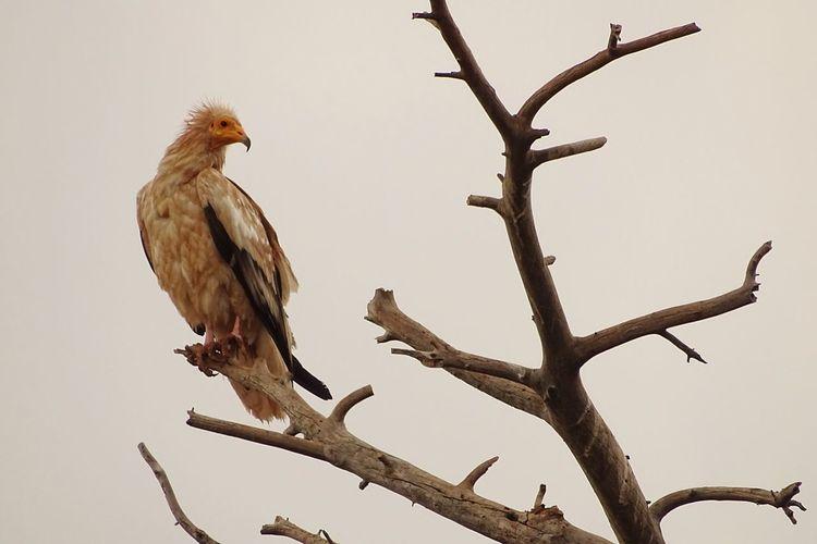 alimoche común, Neophron percnopterus Neophron Percnopterus Egyptian Vulture Alimoche Común Forest Bird Perching Bird Of Prey Tree Branch Vulture Sky Wilderness Alpine