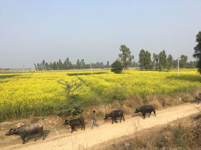 Mustard fields in Rural India Plant Field Animal Themes Sky Land Group Of Animals Tranquil Scene Beauty In Nature Tree Agriculture Mammal Tranquility Clear Sky Rural Scene Growth Nature Environment Day Animal