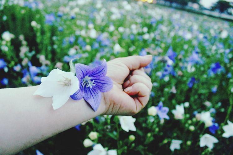 경주 꽃 도라지꽃