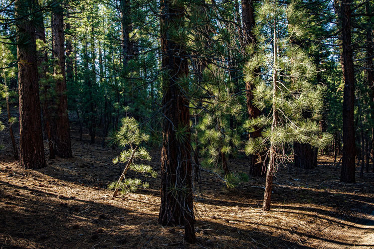 Morning light in pine forest large and small trees