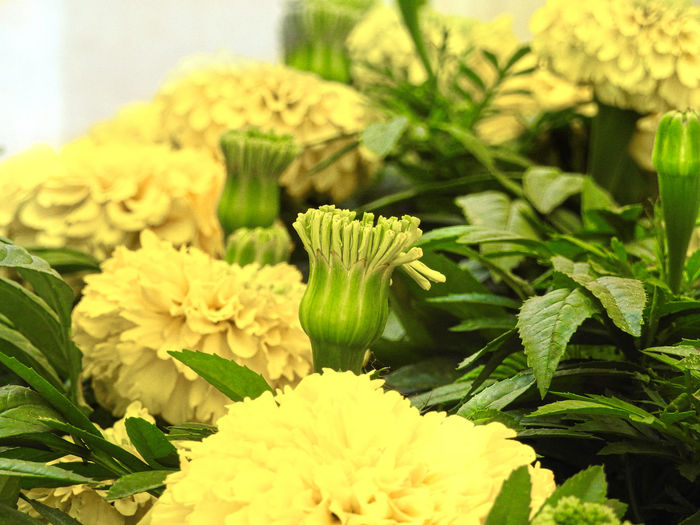Beauty In Nature Close-up Day Flower Flower Head Fragility Freshness Green Color Growth Leaf Marigold Nature No People Outdoors Petal Plant Yellow