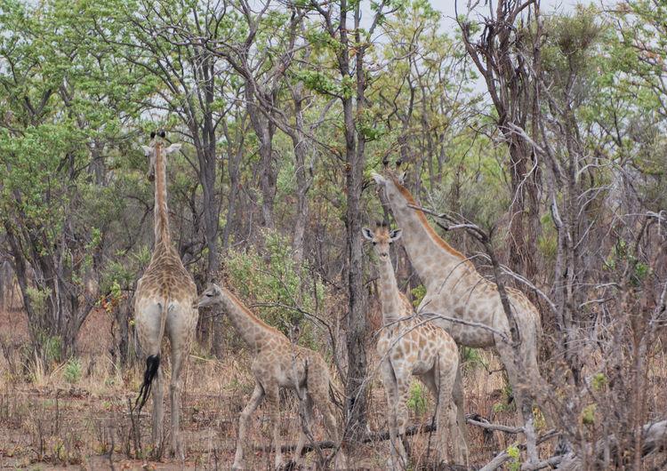 Giraffe in the savanna of in Zimbabwe South Africa Giraffe Giraffa Camelopardalis Cloven Hoofed Animal Steppe Giraffe Long Neck  Cervical Ruminant Safari Savannah Zimbabwe South Africa Africa Charara Safari Area Kariba Nature Wild Animals Animal Themes Animal Animals In The Wild Mammal Wild Wildlife