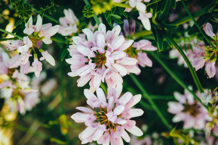 Pink Flower 🌸 Pink Flowers Pink Color Pink Flower Clover Leaves Cloverleaves Clover Leaf CloverFlower🍀 Clover Blossom Cloverflower Clover Field Clovers  Cloverleafdiary Clover Flower Cloverleaf Clover Clovers