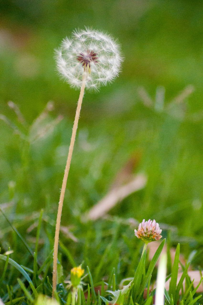 flower, growth, fragility, nature, dandelion, plant, beauty in nature, freshness, uncultivated, flower head, grass, field, wildflower, close-up, focus on foreground, no people, green color, outdoors, day, blooming, poppy