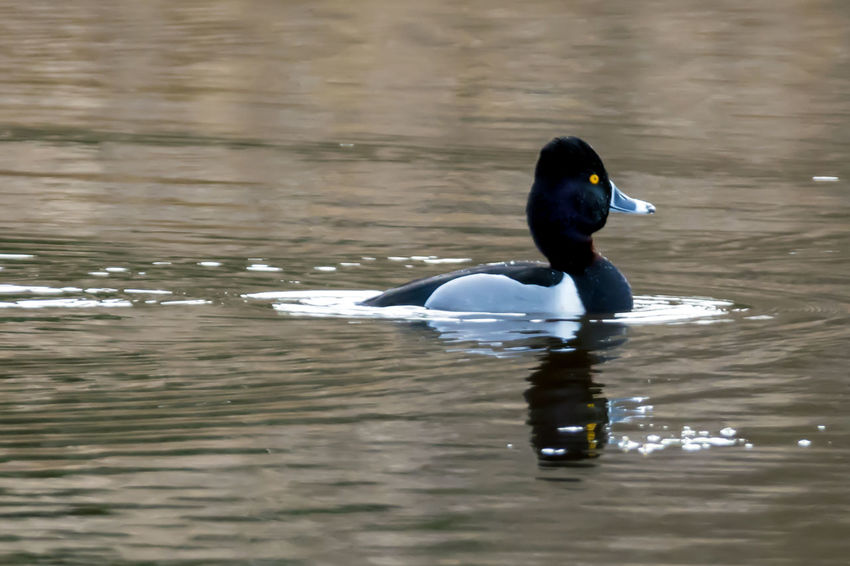 Bufflehead Duck Swimming Animal Themes Animal Wildlife Animals In The Wild Beauty In Nature Beauty In Nature Bird Bird Photography Bird Watching Birds Of EyeEm  Birds_collection Birds🐦⛅ Birdwatching Bufflehead Day Duck Lake Nature No People One Animal Outdoors Pattern Swimming Water Waterfowl Waterfront