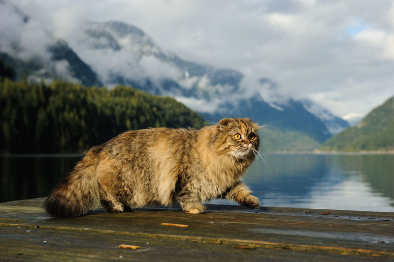 Scottish Fold cat walking on dock in mountain inlet Scottish Fold One Animal Mountain Animal Animal Themes Mammal Nature Water Mountain Range No People Feline Scenics - Nature Cloud - Sky Day Lake Rare Breed  Cat Brown Dock Walking British Columbia North Vancouver