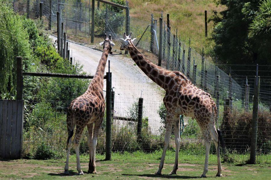 Giraffes! EyeEmNewHere FreshonEyeem Eyeemnaturelover No People Togetherness Animal Wildlife Nature