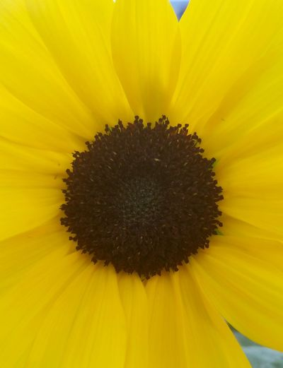 Close-up of an Ornamental Sunflower Ornamental Sunflower Pollen Outdoors Springtime No People Blossom Growth Close-up Beauty In Nature Botany Freshness Nature Sunflower Plant Flower Head Fragility Yellow Petal Flower Stamen Nature Paint The Town Yellow