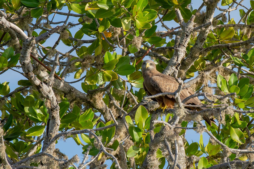 An African Fish Eagle high up on a tree branch Malindi African Fish Eagle Animal Animal Themes Animal Wildlife Animals In The Wild Bird Branch Day Green Color Growth Hamid Leaf Low Angle View Mida Creek Nature No People One Animal Outdoors Perching Plant Plant Part Tree Vertebrate