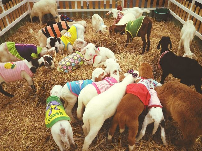 EyeEm Selects Domestic Animals Mammal Pets Animal Themes No People Sheeps Day Taking Photos Lovely Colorful Colorful Animal Littlesheep Fashion Model Young Animal Group Of Animals Travel Photography Outdoors
