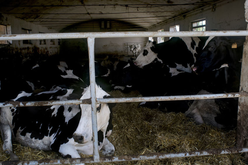 cows in a field Cattle Cows Cows In A Field Dairy Friesian Hay Heilstein Shed