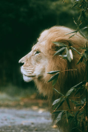 Close-up of a lion on field