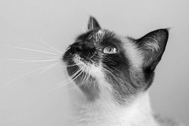 Animal Head  Blackandwhite Bw Cat Domestic Cat Feline One Animal Pets Studio Shot