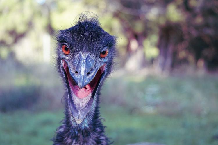 emu Emu Animal