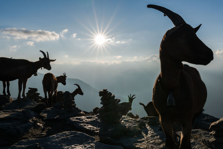 Nosy goats on an early morning Animals In The Wild Goats Nature Silhouettes Sunlight Sunrays Animal Animal Themes Animals Beauty In Nature Domestic Group Of Animals Livestock Mammal Mountain Nature No People Outdoors Rocks Sky Sun Sunbeam Sunlight Sunrise Capture Tomorrow 2018 In One Photograph Moments Of Happiness My Best Photo