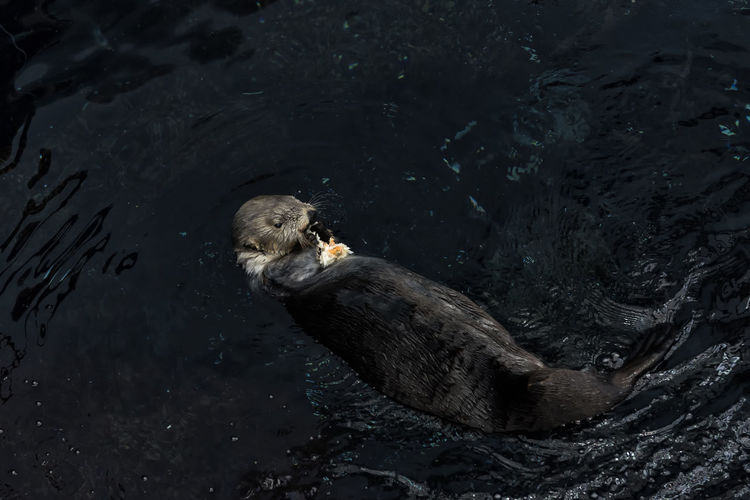 High angle view of sea otter swimming in river
