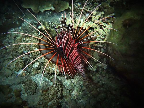 Lion fish Ternate Island, Molucca Underwater Photography Nature Beauty In Nature Scuba Diving Fish Olympus Photography Playground Animal Themes