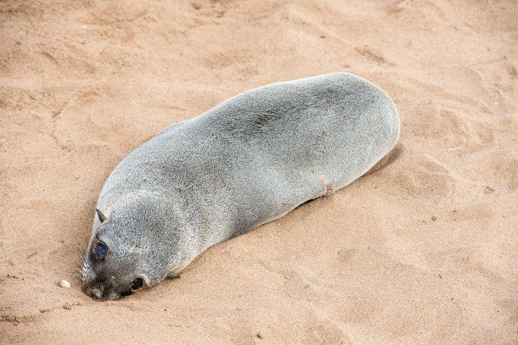 High angle view of animal sleeping on beach