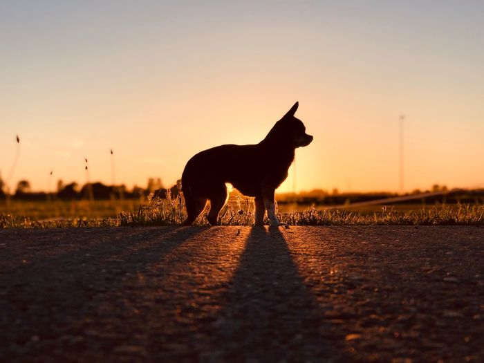 Silhouette chihuahua on footpath against sky during sunset