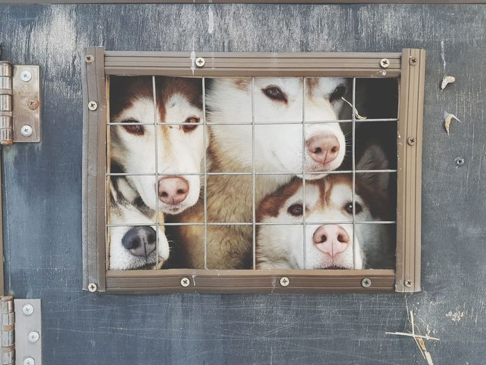 husky. Siberian Husky Siberianhusky Siberia, Russia Sledge Dog Sledge Lonely Cold Group Of Dogs Lovely Cute EyeEm Selects Pets Lock Close-up Cage Locked Captivity Trapped