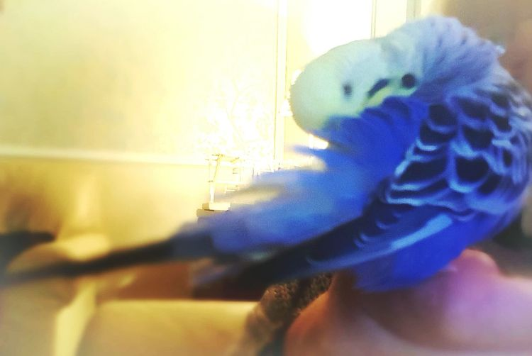 Pets Of Eyeem Pets Corner Bird Blue Budgies Gibsy One Animal Animal Body Part My Boy Blue Feathers Pets Animal Head  Animal Themes Capture The Moment Beauty In Nature