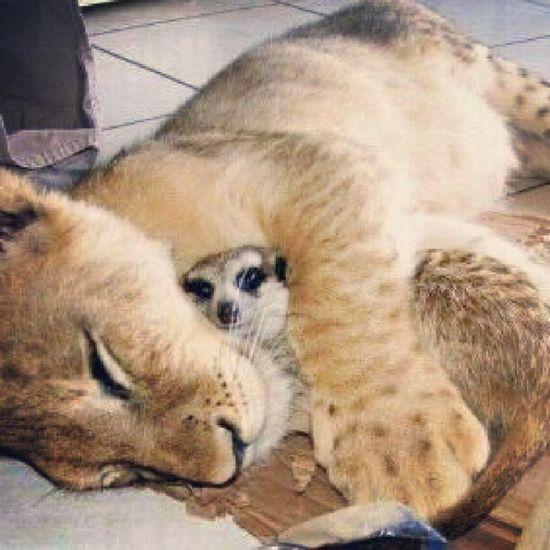 Simba e Timão! *------* Essa foto é linda! Oreileao Simba Timao Thelionking the lion king love beautiful