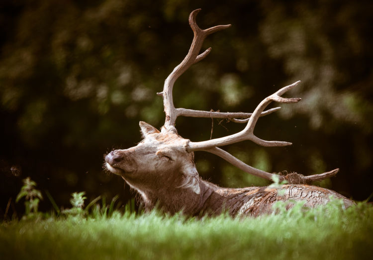 Nature Wildlife & Nature Wildlife Photography Animal Themes Animal Wildlife Animals In The Wild Antler Close-up Countryside Day Grass Majestic Male Mammal Nature No People One Animal Outdoors Stag Wildlife