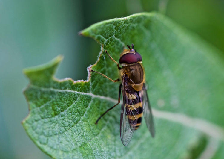 Hoverfly Animal Themes Animals In The Wild Close-up Day Flower Flies Focus On Foreground Green Color Growth Hoverfly Insect Leaf Nature No People One Animal Outdoors Syrphidae