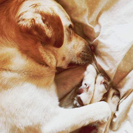 Sleeping Dog Labrador Miltonbiscuit Dogslife Ilovemydog Golden Labrador Dogs Of EyeEm Dogs