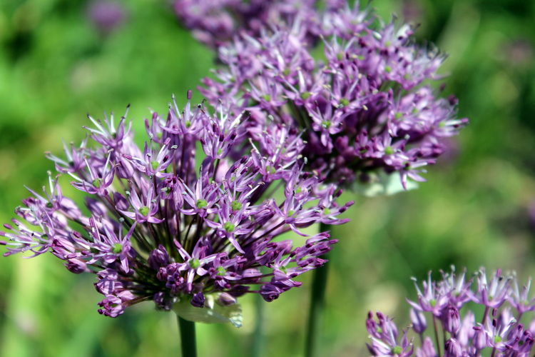 Beauty In Nature Close-up Day Flower Flower Head Growth Lilac Nature Outdoors Plant Purple