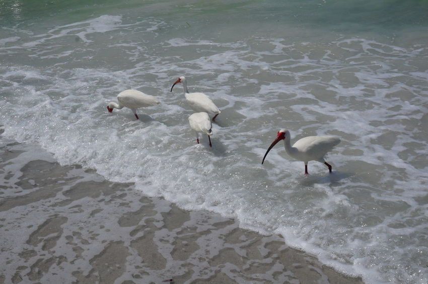 Beach Beauty In Nature Birds Ibis Nature Pass A Grille Surf Water