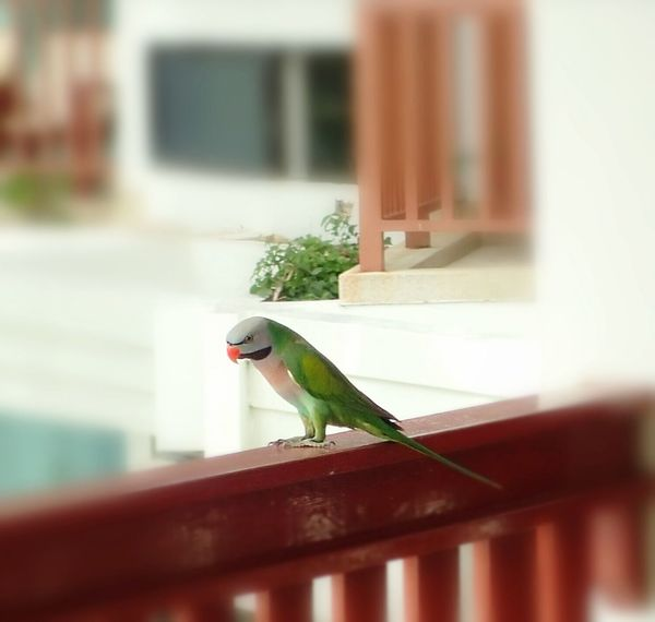 helloooo,dear, wild and free parrot, did you come to say Good Bye? 💓 EyeEm Best Shots Birds Wildlife Thailand Birds🐦⛅ Birds Of EyeEm  Perching Beauty In Nature Birds Bird Photography Birds_collection Animal Animals Parrots Parrot Day Built Structure Selective Focus Green Color Animals In The Wild Bird Nature One Animal Animal Themes Animal Wildlife Close-up No People