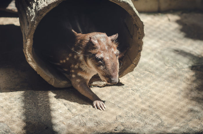 big rat Big Rat Capibara Animal Animal Themes Animal Wildlife Animals In The Wild Close-up Day Domestic Domestic Animals Focus On Foreground High Angle View Mammal Nature No People One Animal Outdoors Relaxation Rodent Shadow Sunlight Vertebrate Whisker Zoo Animals