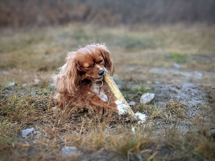 Dog sitting on field chewing a stick
