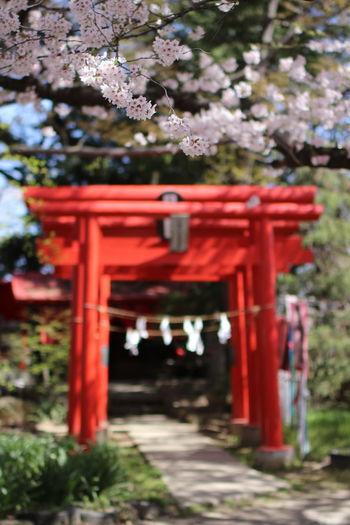 散る前ポスト👍 Tree Flower Red Place Of Worship Spirituality Kimono Branch Religion Shrine Cultures Cherry Blossom Cherry Tree Blossom