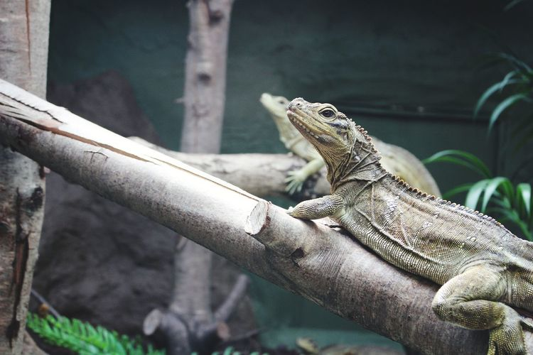 Close-up of iguanas on branch in zoo