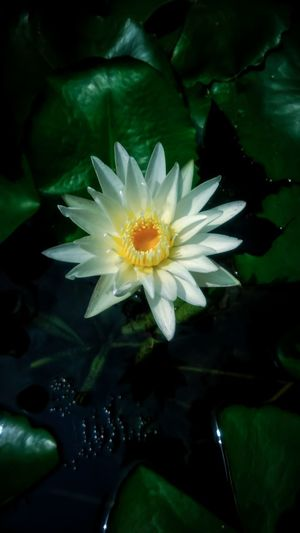 Beautiful white lotus flower in the backyard Blossoming  Blossom Flower White Flower White Water Lily Flower Head Flower Water Black Background Beauty Petal Close-up Plant Green Color Water Lily Water Plant Lotus Pond Floating Floating On Water Lotus Water Lily Lily Pad Blossom In Bloom