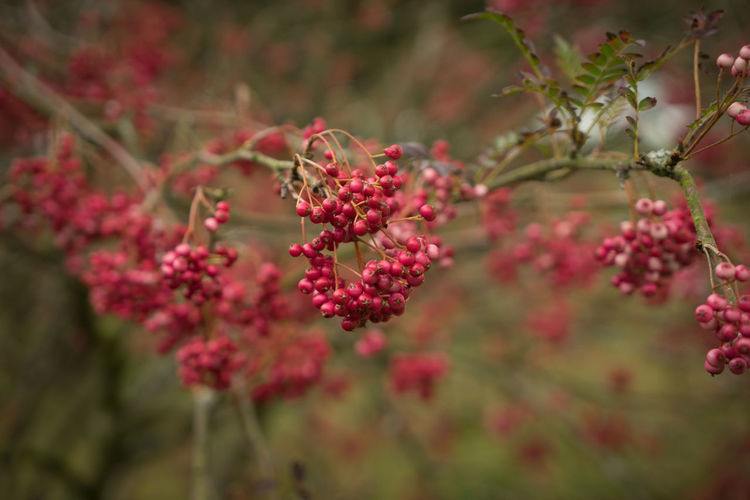 Autumn Yorkshire Arboretum Beauty In Nature Branch Close-up Day England England🇬🇧 Fall Focus On Foreground Fruit Fruitful Growing Growth Nature No People Outdoors Plant Red Red Berries Tree