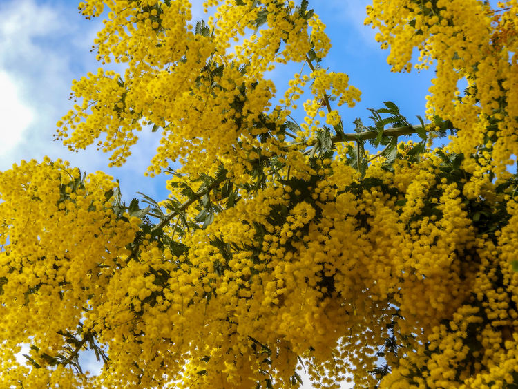 Golden wattle tree flowers Autumn Beauty In Nature Branch Change Close-up Day Flower Flowering Plant Fragility Freshness Golden Wattle Growth Low Angle View Nature Outdoors Plant Sky Tranquility Tree Vulnerability  Wattle Wattle Flower Wattle Tree Yellow Yellow Flowers