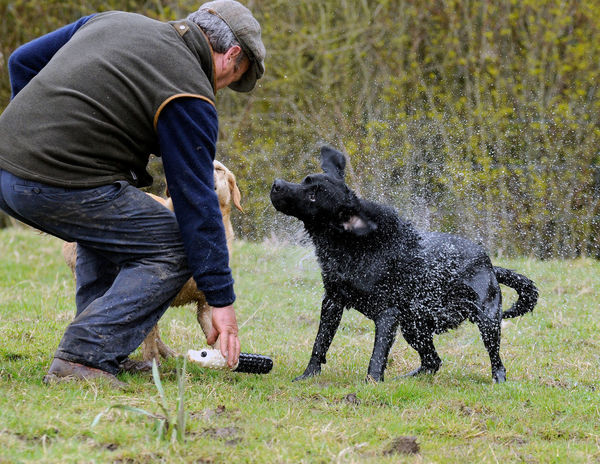 Don't stand too close..... Black Labrador Dog Photography Dog Retrieving Dogs In Action Gundogs Leisure Activity Lifestyle Outdoors Taking Photos Working Dog