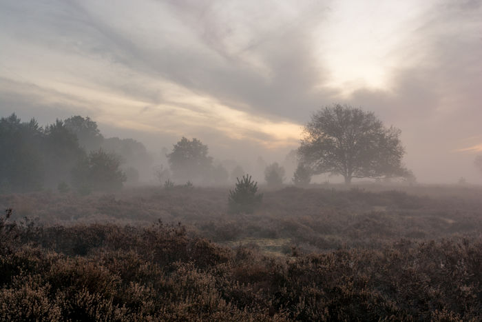 Foggy sunrise Moorland Netherlands Brabant Sunrise Naturephotography Landscapephotography Landscapes Foggy Staatsbosbeheer Natureshots Tree Dawn Fog Rural Scene Multi Colored Agriculture Sunlight Sun Field Beauty Uncultivated Mist