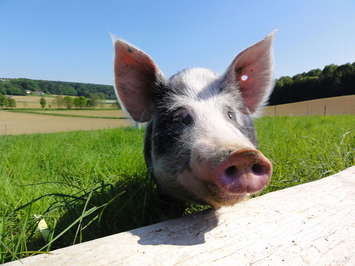 Animal Body Part Animal Head  Beauty In Nature Day Field Grass Grassy Landscape Lanscape Nature Outdoors Pets Pig Pig Head Pig Smiling Sunlight