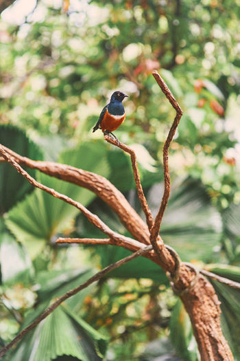 Jurong Bird Park Superb Starling Animal Themes Bird Animal Animal Wildlife Animals In The Wild Vertebrate One Animal Perching Tree Branch Plant Focus On Foreground No People Day Nature Beauty In Nature Outdoors Close-up Growth Songbird