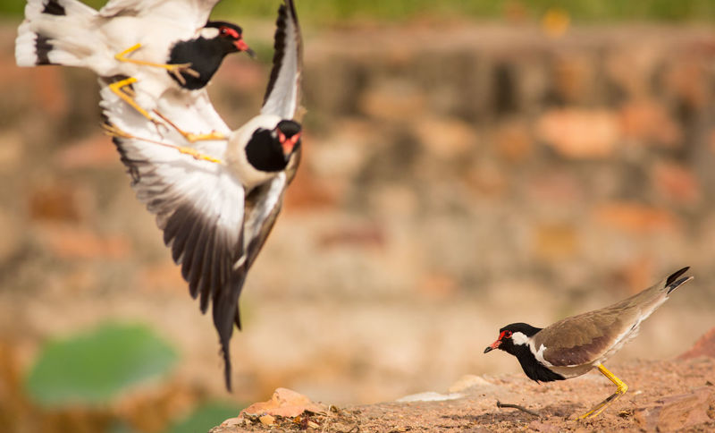 Animals Fighting Copy Space Fight India Indian Lapwings Red-wattled Lapwing Animal Animal Themes Animal Wildlife Animals In The Wild Bird Birds Copyspace Fighting Over Female Flying Group Of Animals Indian Birds Lapwing Nature No People Outdoors Plover Spread Wings Three